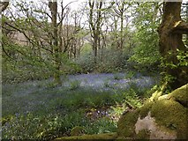SX7278 : Bluebells in woodland on Chinkwell Tor by David Smith