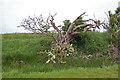TR0021 : Half dead tree, Romney Marsh by Julian P Guffogg