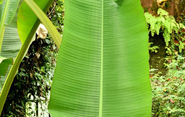 Leaves, the tropical ravine, Botanic Gardens, Belfast - May 2014(1)