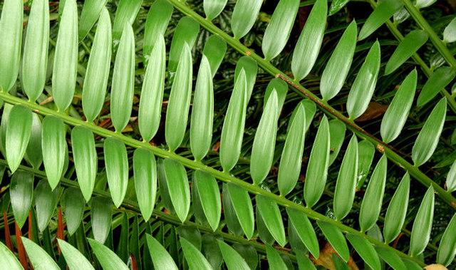 Leaves, the tropical ravine, Botanic Gardens, Belfast - May 2014(2)