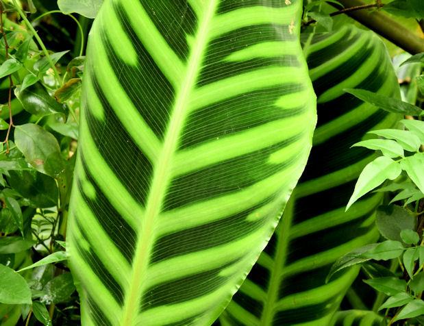 Leaves, the tropical ravine, Botanic Gardens, Belfast - May 2014(3)