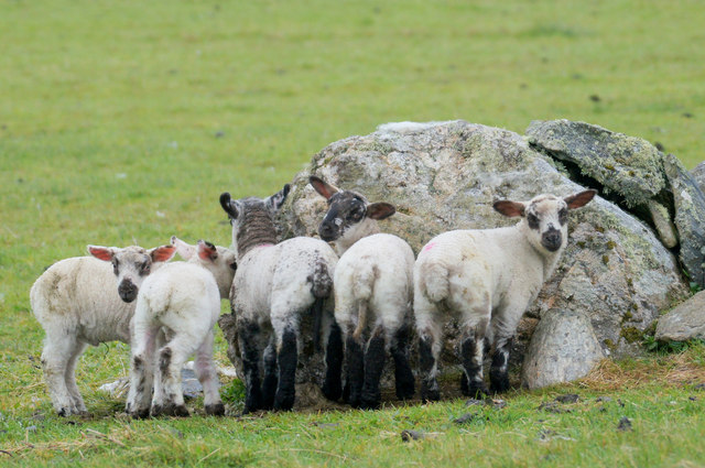 Lambs sheltering from the rain behind a stone, Westing