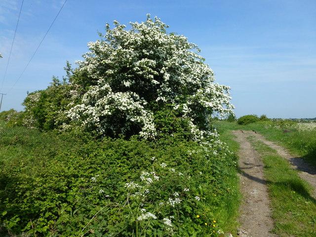 Flowering hawthorn bush on Pingle Way