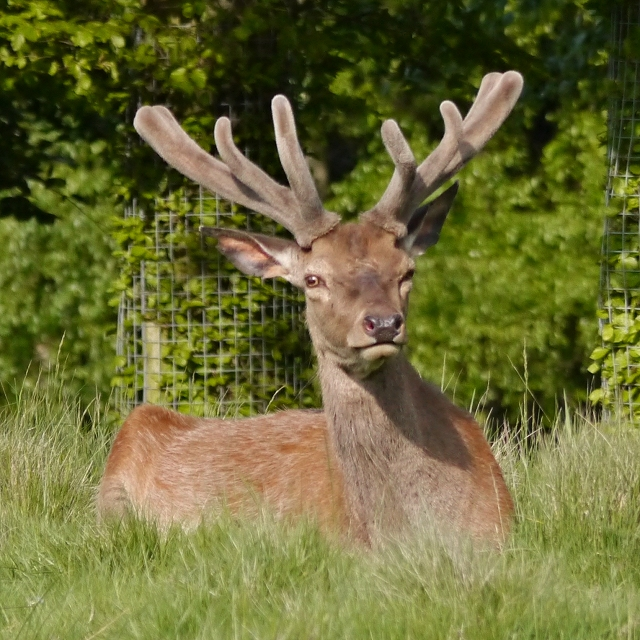 Red Deer at Tatton Park