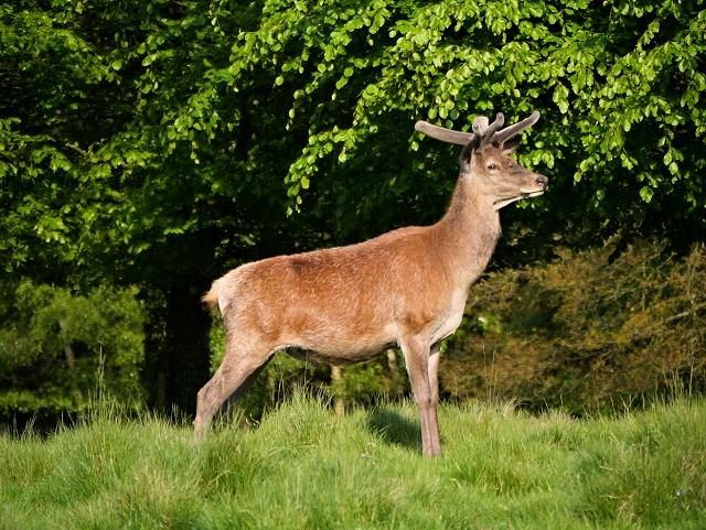 Male Deer at Tatton