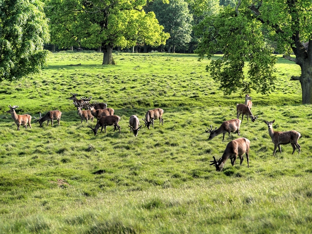 A Bachelor Group of Red Deer at Tatton Park