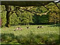 SJ7579 : Tatton Deer Park, Group of Red Deer by David Dixon