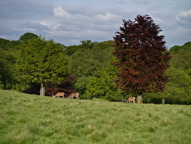 Red Deer Grazing in Tatton Park