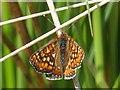 ST1699 : Marsh Fritillary butterfly, Aberbargoed Grasslands by Robin Drayton