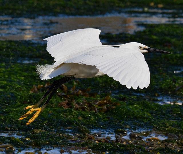 Lift Off: Little Egret taking flight in Looe Harbour, Cornwall