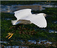 SX2553 : Lift Off: Little Egret taking flight in Looe Harbour, Cornwall by Edmund Shaw
