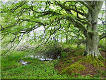 NH5857 : The lochan in Drummondreach Wood by Julian Paren