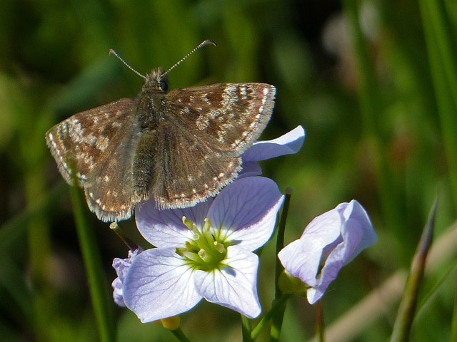 Dingy Skipper butterfly, Cwmllwydrew Meadows Nature Reserve