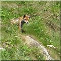 TA0589 : Watchful fox by Pauline E