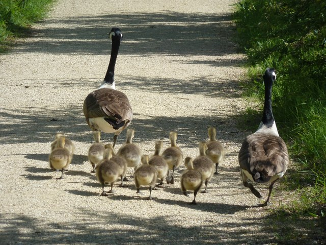 Canada Goose family going for a stroll