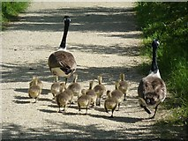 SP9314 : Canada Goose family going for a stroll by Rob Farrow