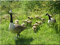 SP9314 : Canada geese emerge from the grass by Rob Farrow