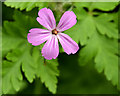 J4582 : Cranesbill, Helen's Bay by Albert Bridge