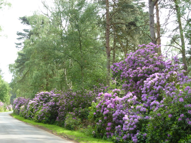 Rhododendrons near Wolferton, Sandringham
