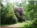 TF6727 : Rhododendrons on Princess's Drive, Sandringham by Richard Humphrey