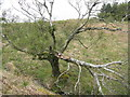 NR5776 : Broken and dying birch at Achamore by M J Richardson