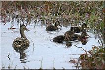 HP6312 : Mallard with ducklings, Haroldswick pool by Mike Pennington