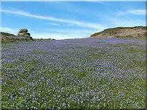 SH4094 : A sea of bluebells by Eirian Evans
