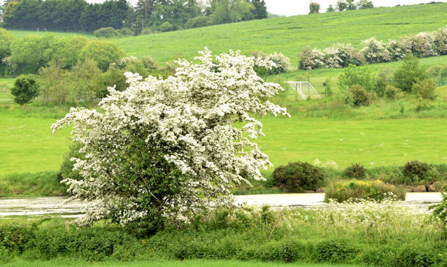 Hawthorn blossom, Dundonald/Comber (May 2014)