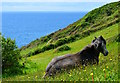 SX1750 : Pony with a view, near Lansallos, Cornwall by Edmund Shaw