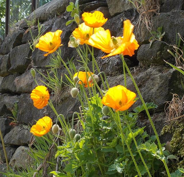 Welsh poppies growing on a garden wall, near Winterbutlee Lock, Rochdale Canal