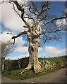 SX7075 : Oak at Drywell Cross by Derek Harper