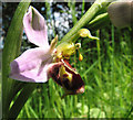 TG1600 : Bee orchid (Ophrys apifera) by Evelyn Simak