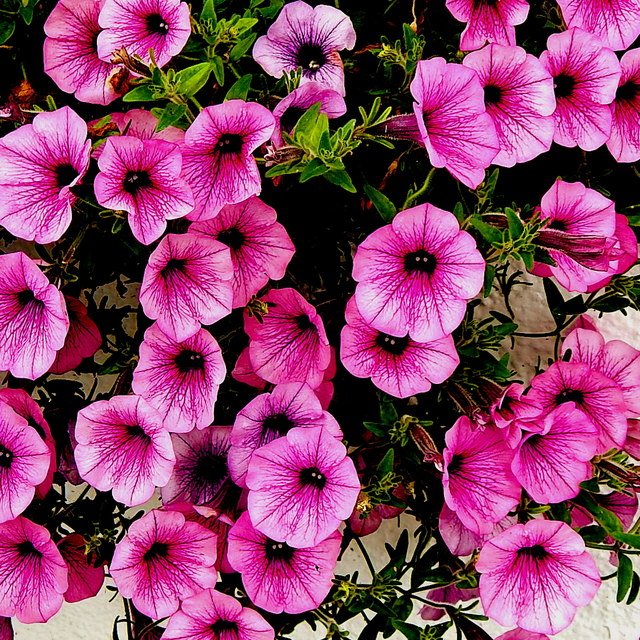 County Clare - Ballyvaghan - Monk's Seafood Pub & Restaurant - Pink Flowers