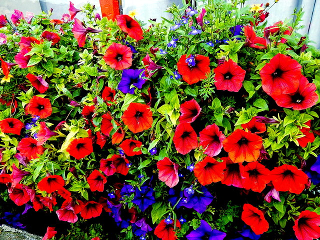 County Clare - Ballyvaghan - Monk's Seafood Pub & Restaurant - Flowers