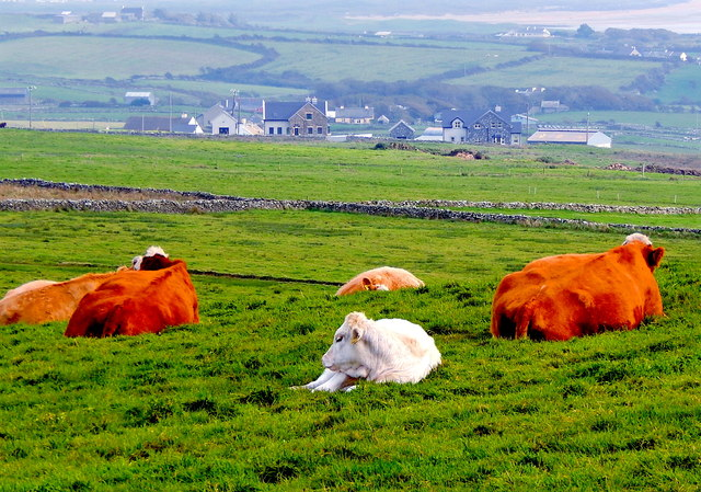 County Clare - R478 - Cliffs of Moher - Cattle Resting in Grass  on Hilltop