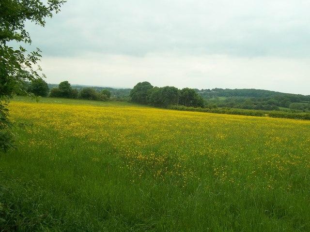 Field of Buttercups near Moorside farm