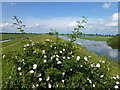TL4583 : Rose bush on the river Bank - The Ouse Washes by Richard Humphrey