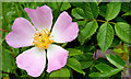 J3268 : Dog rose, Minnowburn, Belfast - June 2014(1) by Albert Bridge