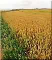 TA2569 : Wheat Field, Headland Way, Flamborough Head by Scott Robinson