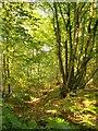TL3508 : Hornbeams in Hoddesdonpark Wood by Stefan Czapski