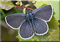 NJ3265 : Small Blue Butterfly (Cupido minimus) by Anne Burgess