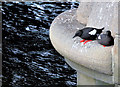J3474 : Black guillemots, Queen's Bridge, Belfast (June 2014) by Albert Bridge