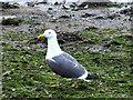 NT1877 : Lesser Black-Backed Gull by Oliver Dixon
