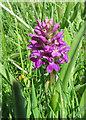 TA2372 : Northern marsh orchid (Dactylorhiza purpurella) by Pauline E