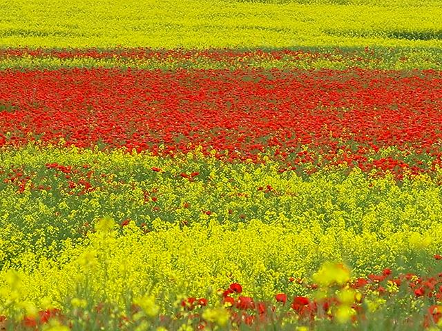 Poppies growing amongst oil seed rape