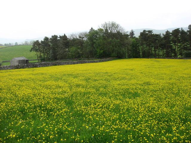 Buttercups near Ravenstonedale