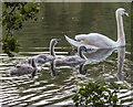 TQ3094 : Mute Swan With Cygnets, Grovelands Park, London N14 by Christine Matthews