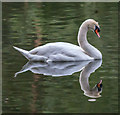 TQ3094 : Mute Swan, Grovelands Park, London N14 by Christine Matthews