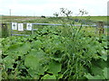 TL4887 : Overgrown footpath at Purls Bridge, Manea by Richard Humphrey