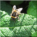 SE8675 : Common bumble bee at Scampston by Pauline E